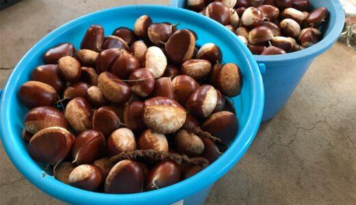 【栗に群がるリスとおっさん】せっかくなので栗と枝豆で春巻きを作ってみた。